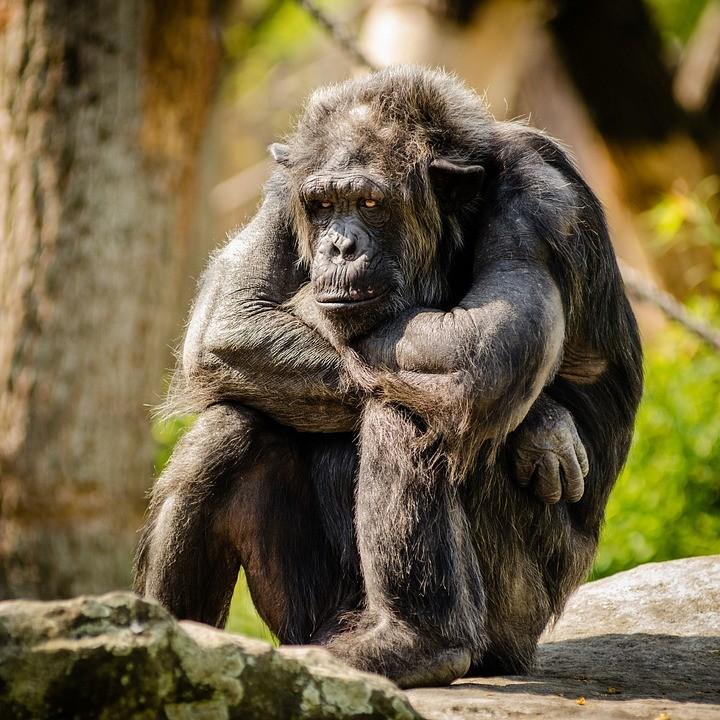 Drámaian csökken számos főemlős élőhelye