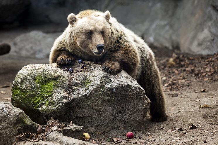 Betört egy medve egy házba és kirámolta a hűtőszekrényt