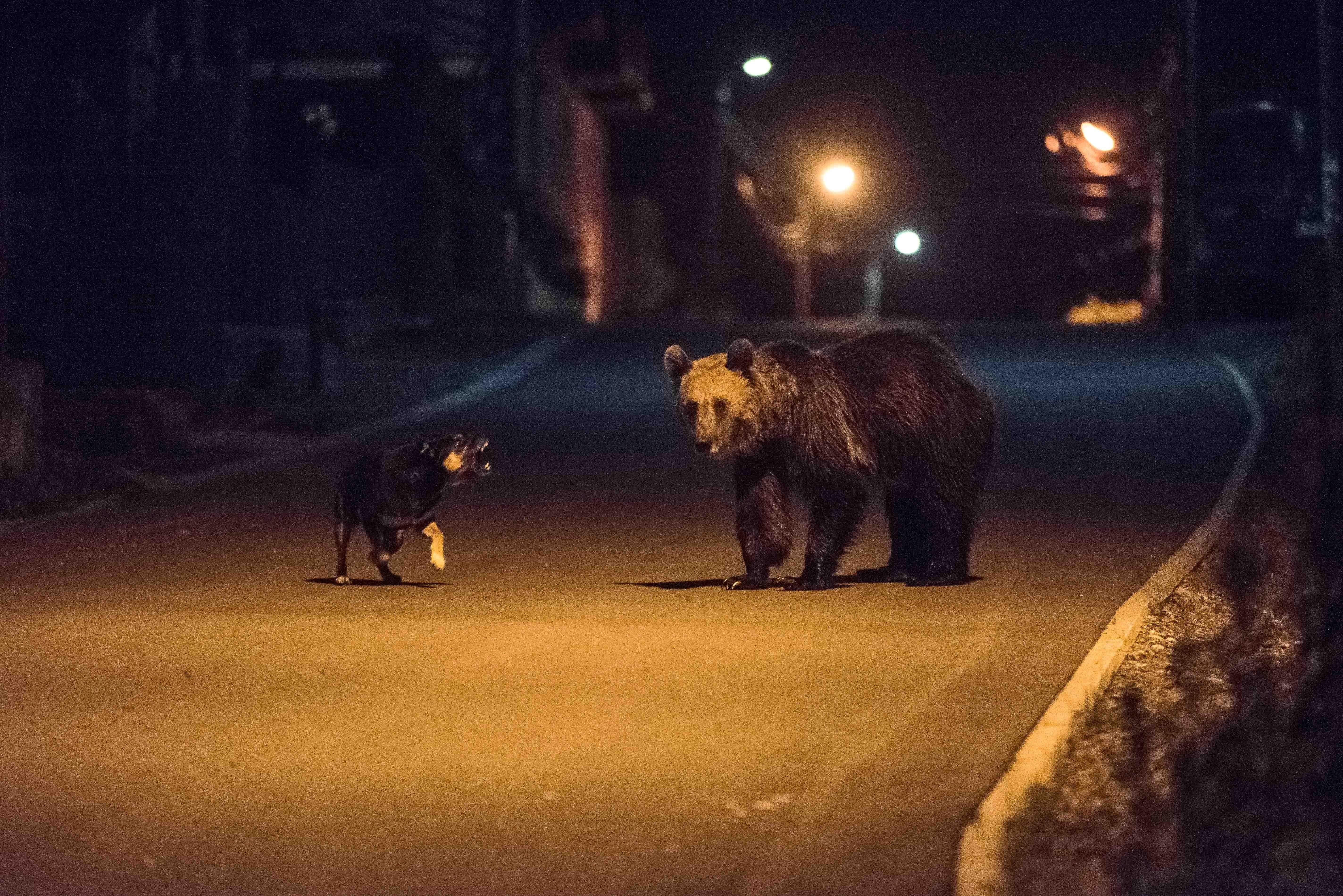 Medvét láttak Miskolcon