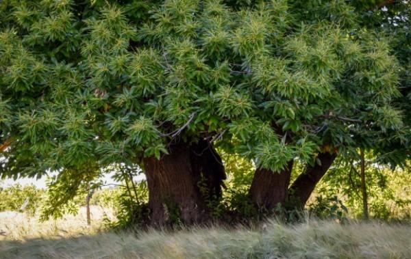 Zengővárkony hős szelídgesztenyéje lett az év fája