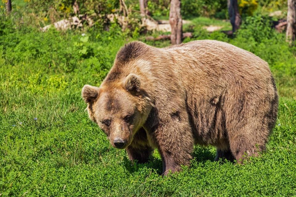 Vége lett a nagy túrának - Elaltatták a kóborló medvét