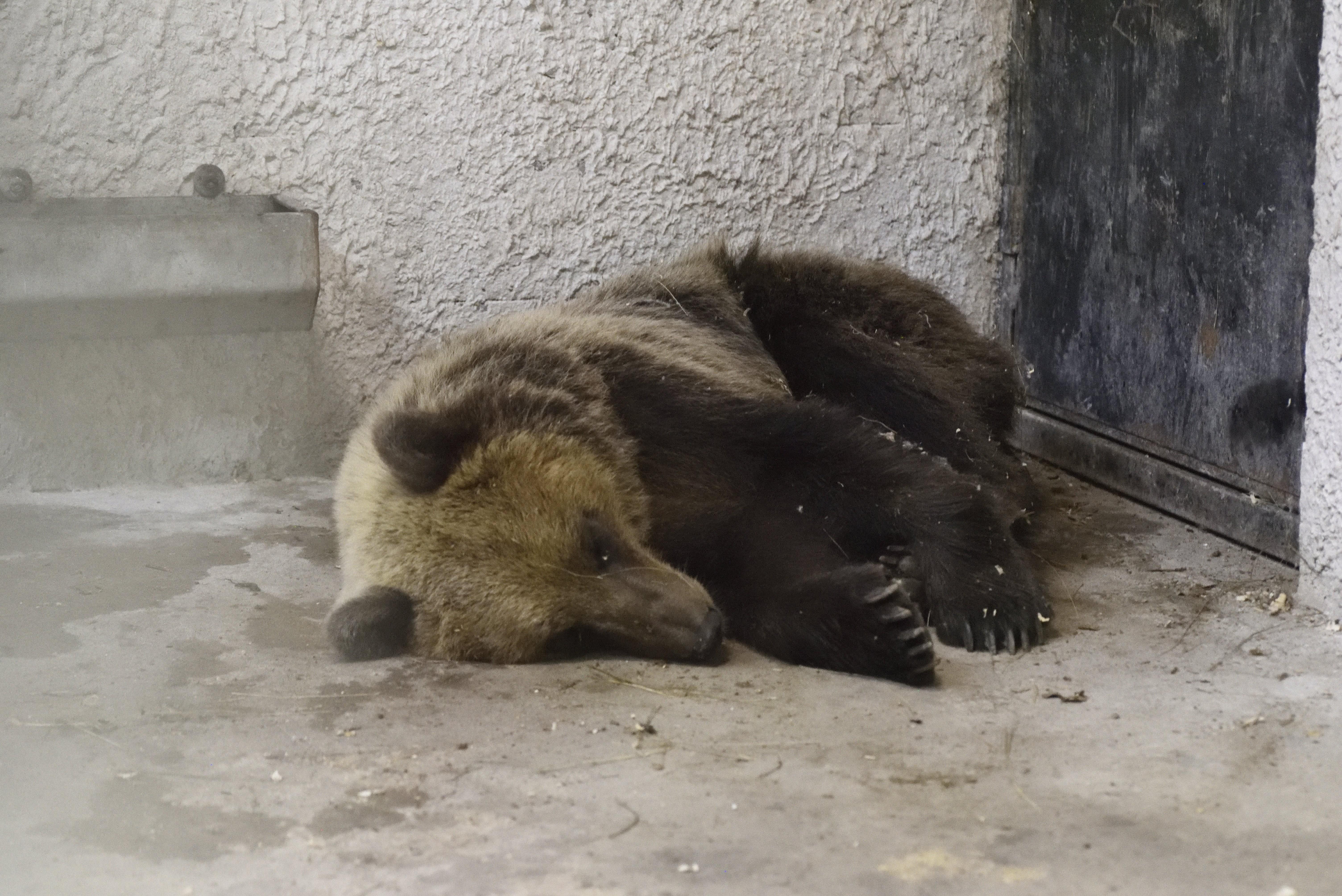 Friss fotók a befogott medvéről