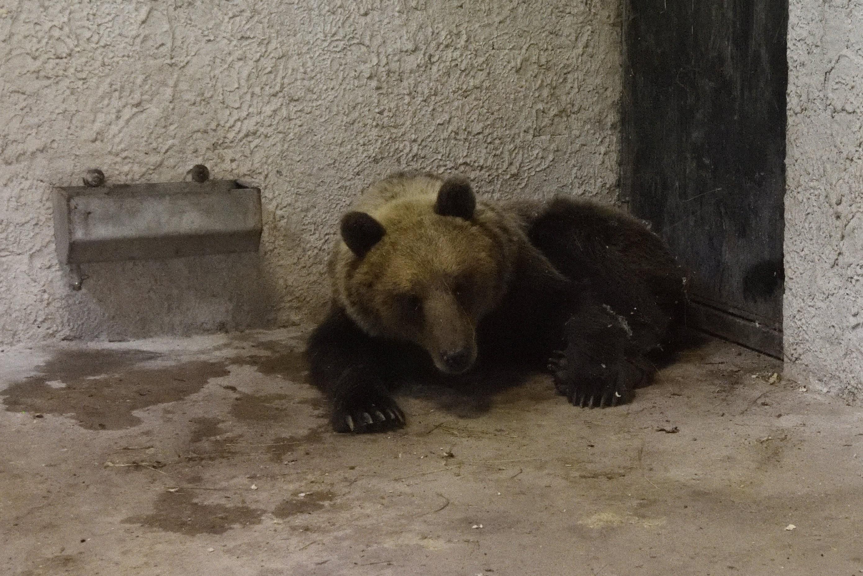 Ismét szabadon kószálhat a medve