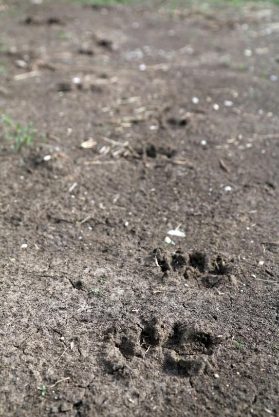 Megdöbbentő képek: Medve lábnyomokat fotóztak Miskolc környékén