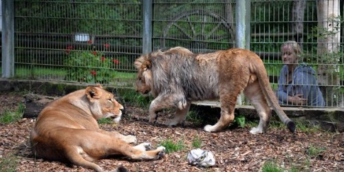 Csak egy medve szabadult el a németországi állatkertből