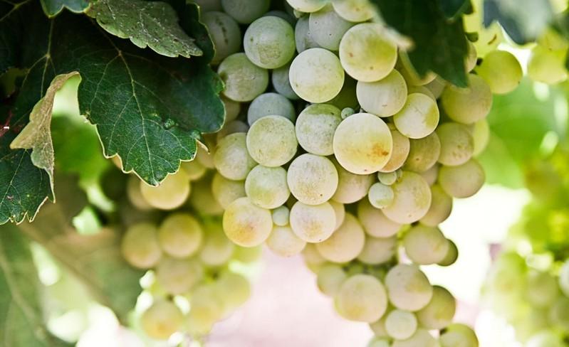 Zárlatot rendeltek el Pécsen a szőlő aranyszínű sárgaság fertőzése miatt