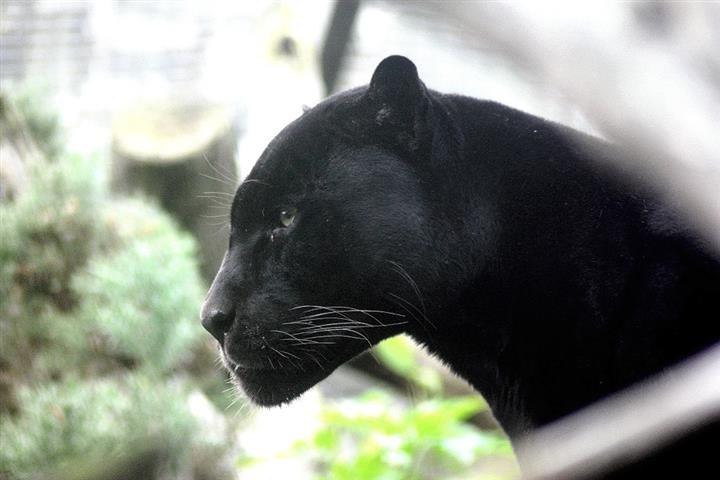 100év után újra láttak fekete párducot