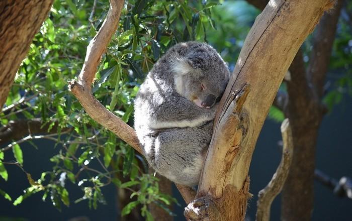 Drónokkal és infravörös kamerákkal figyelik meg a koalákat Ausztráliában