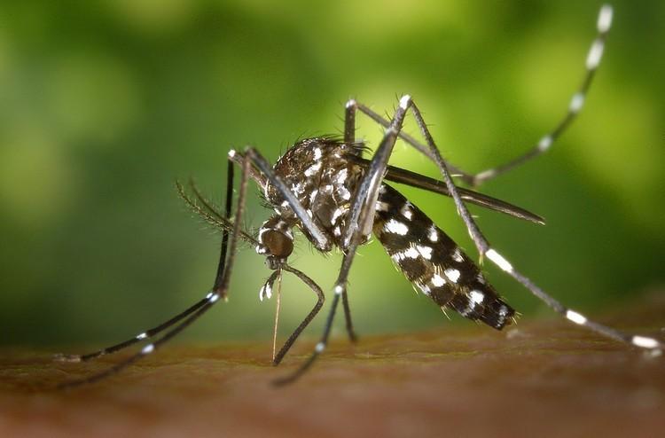 Magyarországon is felbukkant az ázsiai tigrisszúnyog - 22 féle vírust terjeszthet