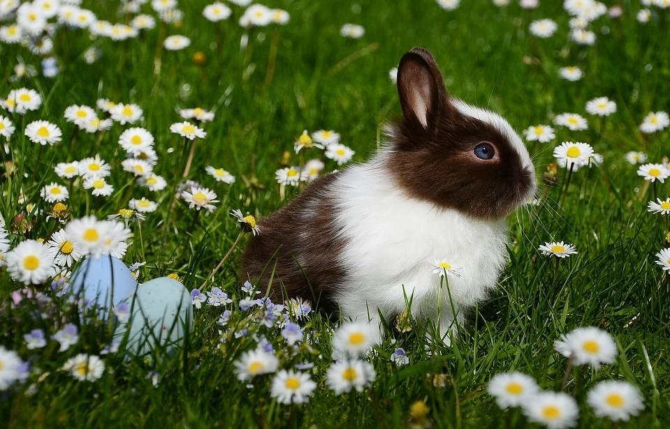 Honnan ered a húsvéti tojást tojó nyúl története?