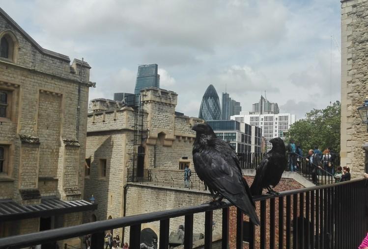 Harminc éve először születtek hollófiókák a londoni Towerben