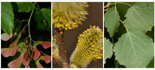 Tatár juhar, kecskefűz vagy rezgő nyár? - Segíthet eldönteni, melyik legyen Az év fája