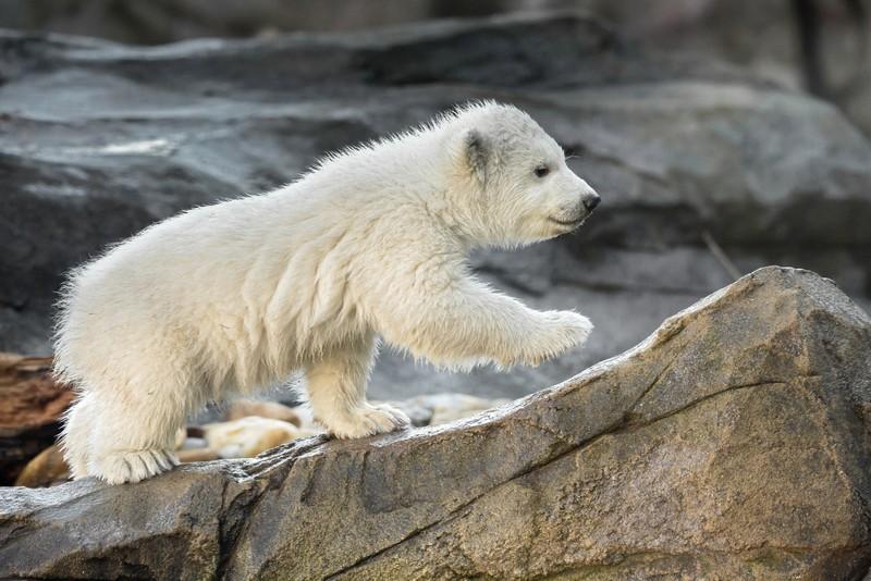 Már a nagyközönség is láthatja a bécsi állatkert jegesmedvebocsát