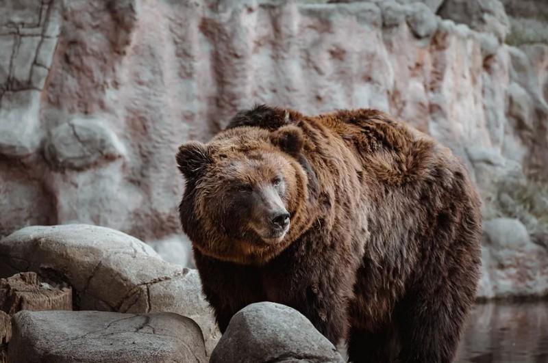 Az állatkerti Balu medve megjósolta az idei telet
