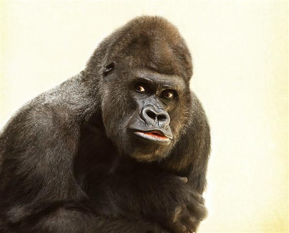 Áttörés - Kiderült, hogy minél nagyobb egy hím gorilla, annál erőteljesebben tudja verni a mellkasát
